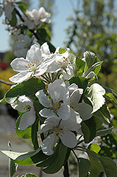 Cortland Apple (Malus 'Cortland') at Maidstone Tree Farm