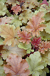 Marmalade Coral Bells (Heuchera 'Marmalade') at Maidstone Tree Farm