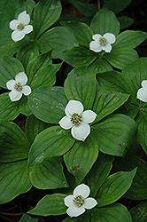 Bunchberry (Cornus canadensis) at Maidstone Tree Farm