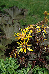 Osiris Cafe Noir Rayflower (Ligularia 'Osiris Cafe Noir') at Maidstone Tree Farm