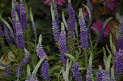 Hocus Pocus Speedwell (Veronica 'Hocus Pocus') at Maidstone Tree Farm