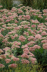 Autumn Joy Stonecrop (Sedum 'Autumn Joy') at Maidstone Tree Farm