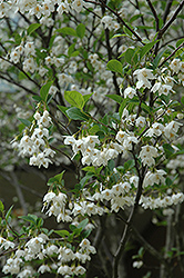 Japanese Snowbell (Styrax japonicus) at Maidstone Tree Farm