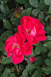 Red Knock Out® Rose (Rosa 'Red Knock Out') at Maidstone Tree Farm
