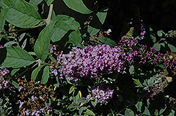 Lo And Behold® Lilac Chip Dwarf Butterfly Bush (Buddleia 'Lo And Behold Lilac Chip') at Maidstone Tree Farm