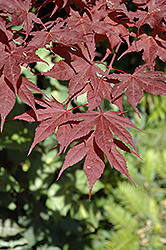 Purple Ghost Japanese Maple (Acer palmatum 'Purple Ghost') at Maidstone Tree Farm