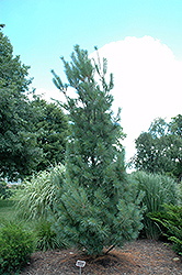 Columnar White Pine (Pinus strobus 'Fastigiata') at Maidstone Tree Farm