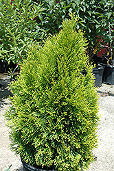 Highlights Arborvitae (Thuja occidentalis 'Janed Gold') at Maidstone Tree Farm