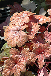 Brass Lantern Foamy Bells (Heucherella 'Brass Lantern') at Maidstone Tree Farm