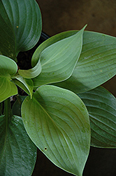 Empress Wu Hosta (Hosta 'Empress Wu') at Maidstone Tree Farm