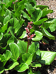 Baby Doll Bergenia (Bergenia 'Baby Doll') at Maidstone Tree Farm