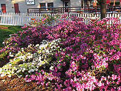 Purple Splendor Azalea (Rhododendron 'Purple Splendor') at Maidstone Tree Farm