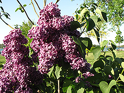 Monge Lilac (Syringa vulgaris 'Monge') at Maidstone Tree Farm