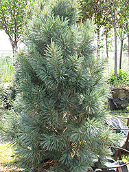 Vanderwolf's Pyramid Pine (Pinus flexilis 'Vanderwolf's Pyramid') at Maidstone Tree Farm