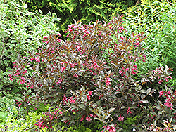 Midnight Wine® Weigela (Weigela florida 'Elvera') at Maidstone Tree Farm