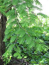 Dawn Redwood (Metasequoia glyptostroboides) at Maidstone Tree Farm
