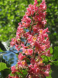 Red Horse Chestnut (Aesculus x carnea) at Maidstone Tree Farm