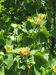 Tuliptree (Liriodendron tulipifera) at Maidstone Tree Farm