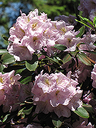 Catawba Rhododendron (Rhododendron catawbiense) at Maidstone Tree Farm