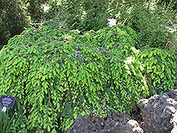 Cole's Prostrate Hemlock (Tsuga canadensis 'Cole's Prostrate') at Maidstone Tree Farm