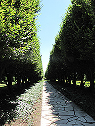 Pyramidal European Hornbeam (Carpinus betulus 'Fastigiata') at Maidstone Tree Farm