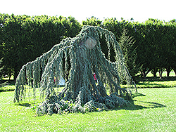Weeping Blue Atlas Cedar (Cedrus atlantica 'Glauca Pendula') at Maidstone Tree Farm