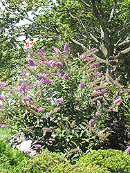 Pink Delight Butterfly Bush (Buddleia davidii 'Pink Delight') at Maidstone Tree Farm