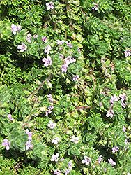 Pink Chintz Creeping Thyme (Thymus praecox 'Pink Chintz') at Maidstone Tree Farm