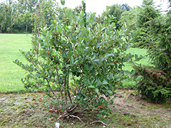 Viking Chokeberry (Aronia x prunifolia 'Viking') at Maidstone Tree Farm