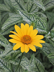 Loraine Sunshine False Sunflower (Heliopsis helianthoides 'Loraine Sunshine') at Maidstone Tree Farm