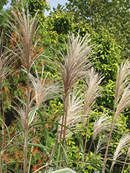 Variegated Silver Grass (Miscanthus sinensis 'Variegatus') at Maidstone Tree Farm
