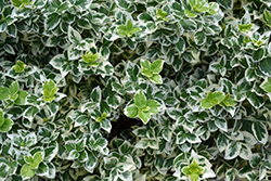 White Album® Wintercreeper (Euonymus fortunei 'Alban') at Maidstone Tree Farm