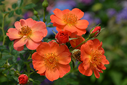 Oso Easy® Paprika Rose (Rosa 'ChewMayTime') at Maidstone Tree Farm