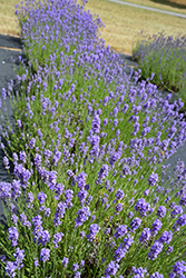 Hidcote Blue Lavender (Lavandula angustifolia 'Hidcote Blue') at Maidstone Tree Farm