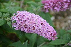 Pugster® Pink Butterfly Bush (Buddleia 'SMNBDPT') at Maidstone Tree Farm