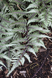 Godzilla Giant Japanese Painted Fern (Athyrium 'Godzilla') at Maidstone Tree Farm
