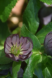 Wedding Party® Dark and Handsome Hellebore (Helleborus 'Dark and Handsome') at Maidstone Tree Farm