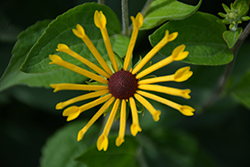 Henry Eilers Coneflower (Rudbeckia subtomentosa 'Henry Eilers') at Maidstone Tree Farm
