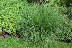 Little Bunny Dwarf Fountain Grass (Pennisetum alopecuroides 'Little Bunny') at Maidstone Tree Farm