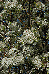 Chanticleer Ornamental Pear (Pyrus calleryana 'Chanticleer') at Maidstone Tree Farm