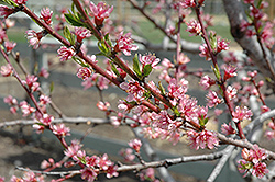 Redhaven Peach (Prunus persica 'Redhaven') at Maidstone Tree Farm