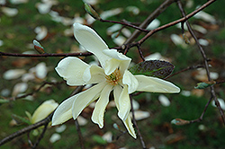 Gold Star Magnolia (Magnolia 'Gold Star') at Maidstone Tree Farm