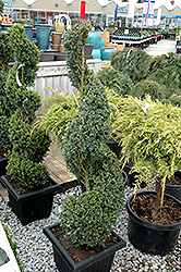 Green Mountain Boxwood (spiral form) (Buxus 'Green Mountain (spiral)') at Maidstone Tree Farm