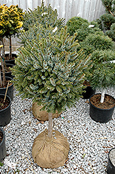 Dwarf Serbian Spruce (tree form) (Picea omorika 'Nana (tree form)') at Maidstone Tree Farm