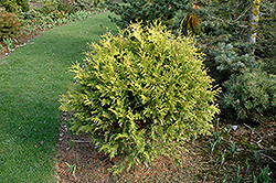 Golden Globe Arborvitae (Thuja occidentalis 'Golden Globe') at Maidstone Tree Farm