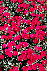 Frosty Fire Pinks (Dianthus 'Frosty Fire') at Maidstone Tree Farm