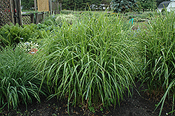Porcupine Grass (Miscanthus sinensis 'Strictus') at Maidstone Tree Farm