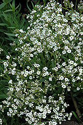 Festival™ Star Baby's Breath (Gypsophila paniculata 'Festival Star') at Maidstone Tree Farm