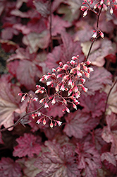 Berry Smoothie Coral Bells (Heuchera 'Berry Smoothie') at Maidstone Tree Farm