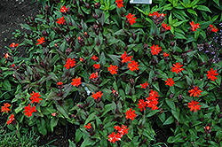 Orange Gnome Campion (Lychnis x arkwrightii 'Orange Gnome') at Maidstone Tree Farm